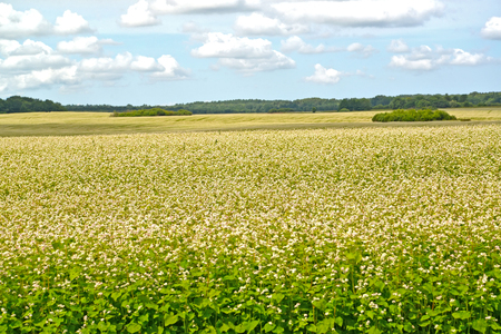 The buckwheat field in sunny day. Summer landscape