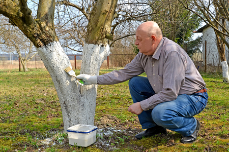 The male gardener bleaches a fruit-tree trunk. Spring works in a garden Stock Photo