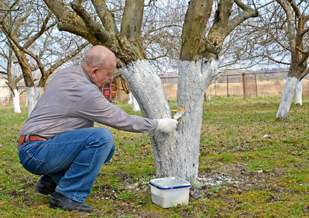 The pensioner bleaches a fruit-tree trunk. Spring works in a garden Stock Photo