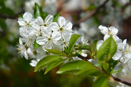 Branch of the blossoming cherry (Prunus subgen. Cerasus). Spring Stok Fotoğraf - 104357898