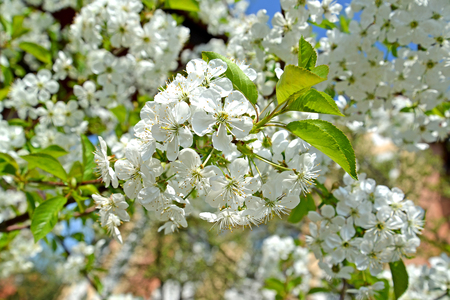 White flowers of cherry (Prunus subgen. Cerasus). Spring