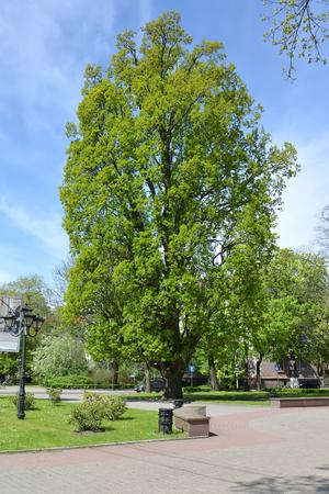 Oak chereshchaty pyramidal (Quercus robur L.) grows in the square. Kaliningrad Stock Photo
