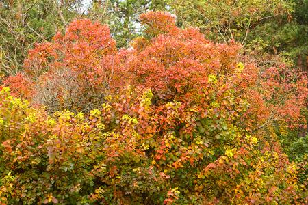 Skumpiya tanning (Cotinus coggygria Scop.). Autumn landscape Stock Photo