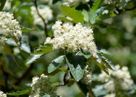Flowers of a mountain ash Scandinavian (Sorbus intermedia (Ehrh.) Pers.)