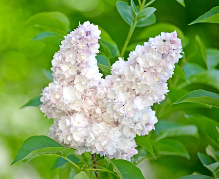 Inflorescence of a white terry lilac (Syringa L.) grades