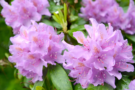 Flowers of a pink rhododendron (Rhododendron L.) close up