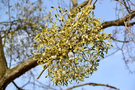Semi-parasite mistletoe white (Viscum album L.) grows on a tree owner