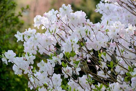 Shlippenbakhs rhododendron (Rhododendron schlippenbachii Maxim.). The blossoming escapes