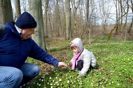 The grandfather gives to the granddaughter a flower of an wood anemone. Spring wood