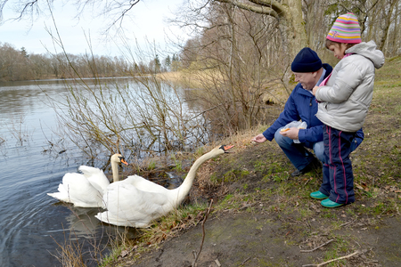 The grandfather and the granddaughter feed swans on the bank of the forest lake Stock Photo