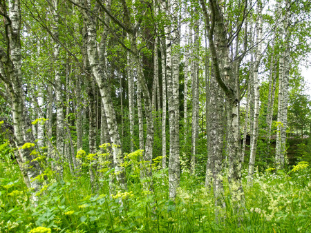 Grove of the Karelian birches (Betula pendula var. carelica (Merckl.) Hämet-Ahti) in the reserve Kivach. Karelia