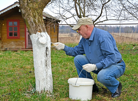 Spring work in the garden.  A man whites the trunk of an apple tree Stock Photo