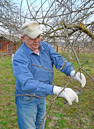 The elderly man cuts apple-tree branches with secateurs. Spring works in a garden Stock Photo