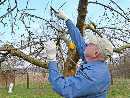 The gardener cuts apple-tree branches with secateurs. Spring works in a garden