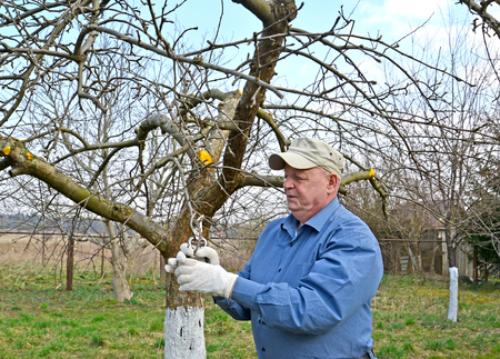 The pensioner cuts apple-tree branches with secateurs. Spring works in a garden