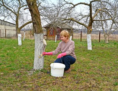 The female gardener bleaches an apple-tree trunk. Spring works in a garden. Фото со стока