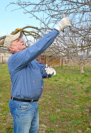Undercutting of branches of a fruit-tree secateurs. Spring works in a garden. Stock Photo