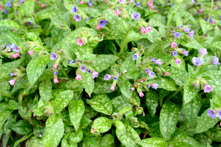The blossoming lungwort sugar, or spotty (Pulmonaria saccharata Mrs Moon). Background