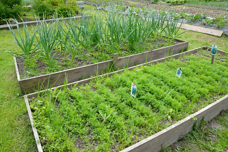 Bed with fennel and garlic on the seasonal dacha