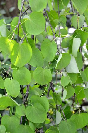 Katsura tree Japanese (Cercidifillum japonicum, var. pendula), leaves close up 免版税图像