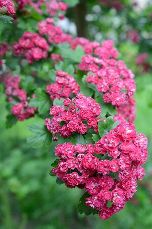 Flowers of a hawthorn blood-red (Crataegus sanguinea Pall.)