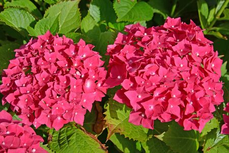 Large inflorescences of a hydrangea (Hydrangea L.), top view