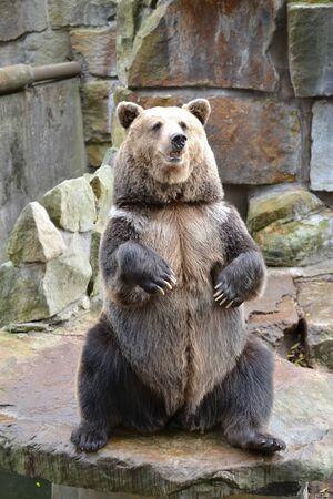 A brown bear (Ursus arctos Linnaeus) sits on its hind legs. Zoo