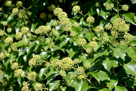 Flowering ivy common (Hedera helix L.)