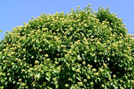 Common ivy blooms (Hedera helix L.) background blue sky