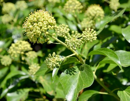 Flower with plain ivy leaves (Hedera helix L.), large plan