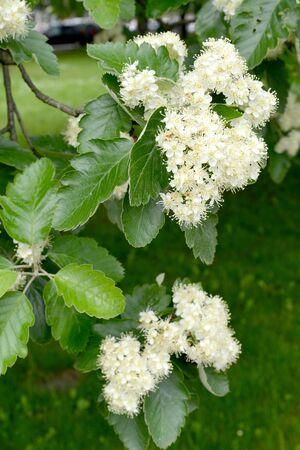 The flowering of ripple is Scandinavian (Sorbus intermedia (Ehrh.) Pers.). Spring