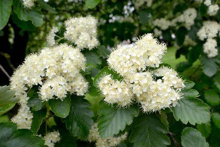 Ripple flowering is Scandinavian (Sorbus intermedia (Ehrh.) Pers.). Spring