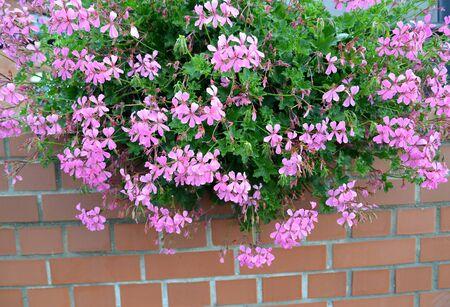 Flowering pelargonia is ivy-like (Pelargonium peltatum (L.) L 'Her. Ex Ait.) against the background of a brick wall Stock Photo
