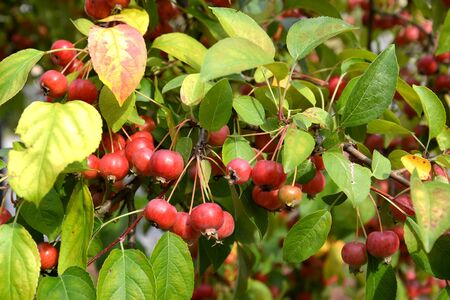 The red apple fruit is Chinese creamy (Malus prunifolia (Willd.) Borkh.) Stock fotó