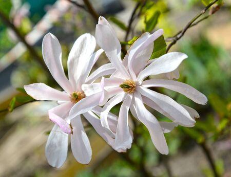 Two flowers of star magnolia (Magnolia stellata (Siebold & Zucc.) Maxim.) close-up