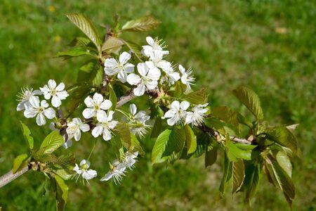 Branch with cherry flowers (Prunus avium L.) Stock fotó