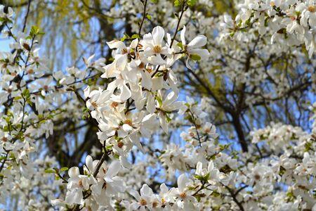 The abundant flowering of magnolia cobus (Magnolia kobus DC.)