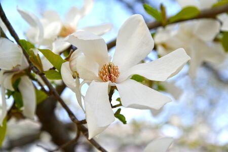 White flower magnolia cobus (Magnolia kobus DC.)