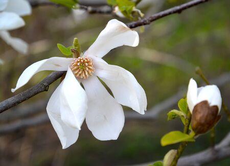 The flower and bouton of magnolia cobus (Magnolia kobus DC.)