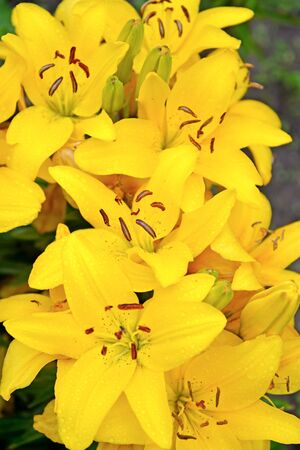 Background of yellow lilies
