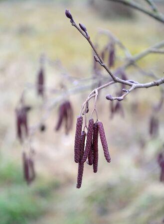 Earrings of European black alder (Alnus glutinosa L.) on the branch