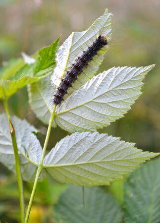 Caterpillar of unpaired silkworm (Lymantria dispar Linnaeus) eats raspberry leaf