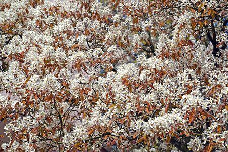 Flowers Irga Canadian (Amelanchier canadensis (L.) Medik.). Background