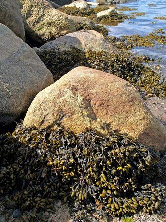 Fucus vesiculosus (Fucus vesiculosus) on stones at low tide. The shore of the White Sea