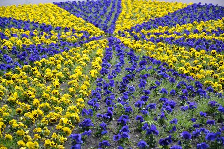 Pattern in the flower of anutic eyes (Viola tricolor)