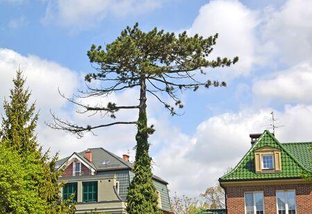 Black Austrian pine (Pinus nigra J.F.Arnold) in urban landscape