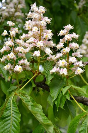 The inflorescences chestnut of horse common (Aesculus hippocastanum L.)