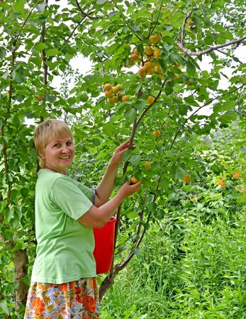 Middle-aged woman collects apricots in garden Archivio Fotografico