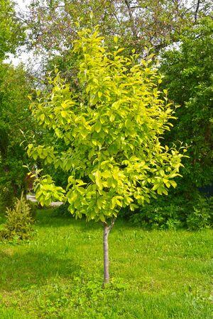 Mountain ash alder (Sorbus alnifolia (Siebold & Zucc.) K. Koch).