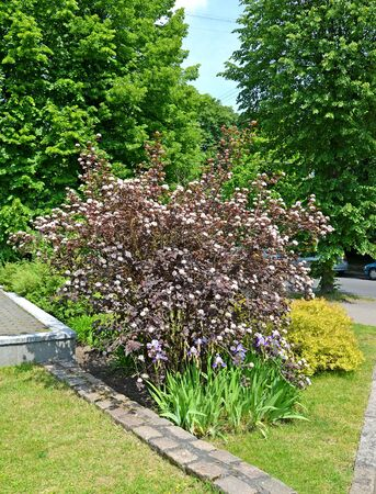Flowering Pacific ninebark ubbler-leaf (Physocarpus opulifolius Kuntze), variety Diabolo (or Purpureus) in urban square Standard-Bild